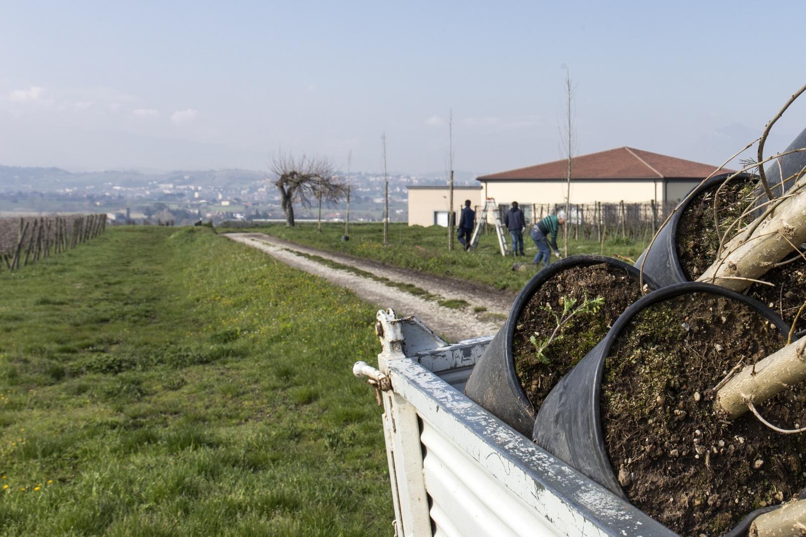 lavori in corso: piantumazione pioppi cipressini | I lotto